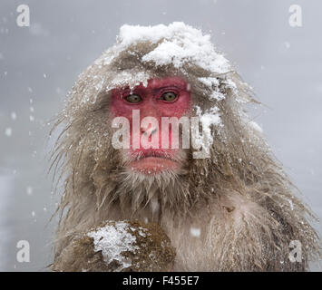 Japanese Macaque (Macaca fuscata) mother holding her baby in snowstorm, Jigokudani, Japan. - Stock Photo