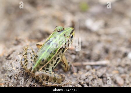 Black-spotted Pond Frog or Dark-spotted frog (Rana nigromaculata) in Japan - Stock Photo