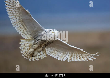 Snowy owl (Bubo scandiacus) in flight, Boundary Bay, British Columbia, Canada. February. First place in the Overall - Stock Photo