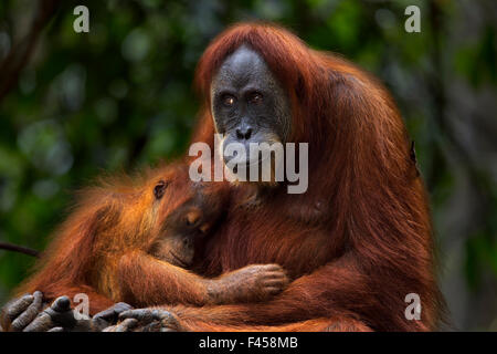 Sumatran orangutan (Pongo abelii) female 'Ratna' aged 24 years sitting with her baby daughter 'Global' aged 3-4 - Stock Photo