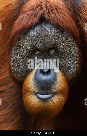 Sumatran orangutan (Pongo abelii) mature male 'Halik' aged 26 years portrait. Gunung Leuser National Park, Sumatra, - Stock Photo