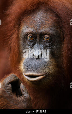Sumatran orangutan (Pongo abelii) female 'Sandra' aged 22 years portrait. Gunung Leuser National Park, Sumatra, - Stock Photo
