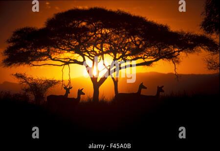 Herd of Impala (Aepyceros melampus) silhouetted at sunset, Ngorongoro Conservation Area, Tanzania. - Stock Photo