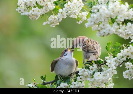 Tree sparrow (Passer montanus) feeding a fledgling on a branch of Hawthorn (Crataegus monogyna) blossom, Perthshire, - Stock Photo