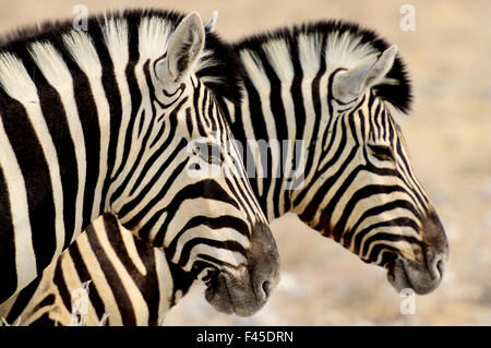 Burchell's zebras (Equus quagga burchellii) standing side by side. Etosha NP, Namibia. - Stock Photo