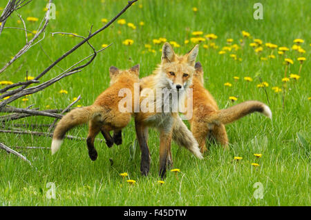 American Red fox (Vulpes vulpes fulva) baby leaping on its disinterested mother. Grand Teton National Park, Wyoming, - Stock Photo