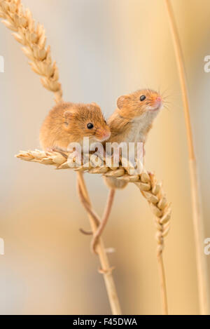 Harvest mice (Micromys minutus) on wheat stems, Devon, UK, July. Captive. Not available for Greetings card and Notelets - Stock Photo