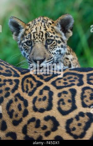 jaguar standing - photo #18