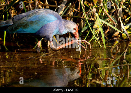 Purple Swamphen - Green Cay Wetlands - Boynton Beach, Florida USA - Stock Photo