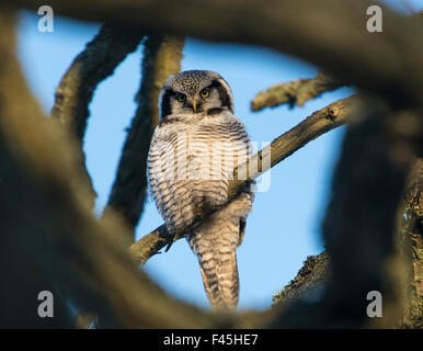 Northern Hawk-Owl (Surnia ulula) seen through branches, southwest Finland, February. - Stock Photo