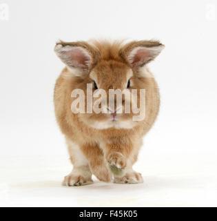 Lionhead x Lop rabbit, Tedson, running, against white background - Stock Photo