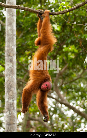 Peruvian red uakari monkey (Cacajao calvus ucayalii) hanging by feet. Captive - Pilpintuwasi Animal Orphanage, Peru. - Stock Photo