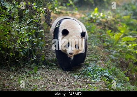 Giant Panda (Ailuropoda melanoleuca) adult walking along track. Chengdu, China. Taken under controlled conditions - Stock Photo