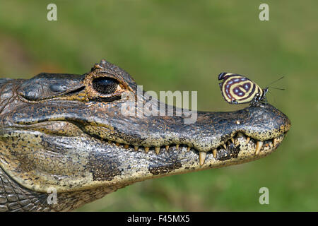 Yacare Caiman (Caiman yacare) with butterfly (Paulogramma pyracmon) resting on its snout, Pantanal, Brazil. - Stock Photo
