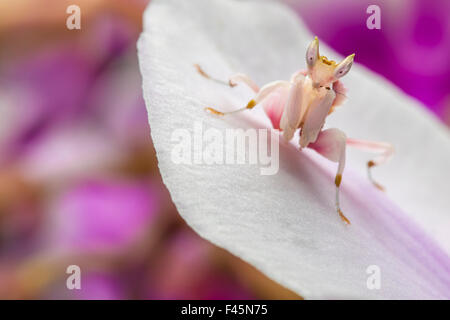 Malaysian Orchid Mantis (Hymenopus coronatus) pink colour morph, camouflaged on an orchid. Captive, from Malaysia. - Stock Photo