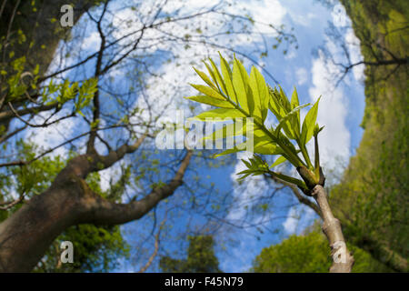 Ash Tree (Fraxinus excelsior) fish eye view of newly emerged leaves, Derbyshire, UK, May. - Stock Photo