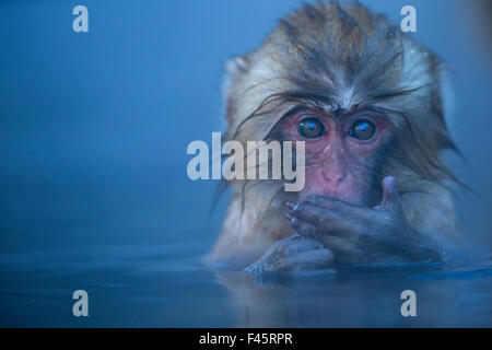 Japanese Macaque (Macaca fuscata) baby submerged in a thermal hotspring pool. Jigokudani Yean-Koen National Park, - Stock Photo