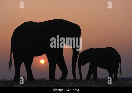 African elephant (Loxodonta africana) adult and juvenile silhouetted, Chobe River, Botswana, August, Vulnerable - Stock Photo
