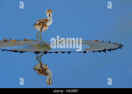 African jacana (Actophilornis africana) chick, one day, standing on leaf, Chobe River, Botswana, April. - Stock Photo