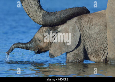African elephant (Loxodonta africana) calf in water with mother's reassuring trunk resting on head, Chobe River, - Stock Photo