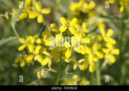 Tufted wallflower - Stock Photo