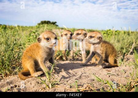 Meerkat (Suricata suricatta) babies, Makgadikgadi Pans, Botswana. - Stock Photo