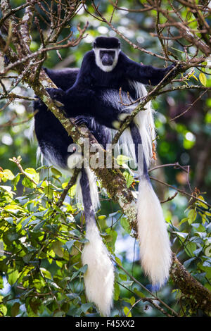 Mantled guereza (Colobus guereza) monkeys in the Harenna Forest. Bale Mountains National Park, Ethiopia. - Stock Photo