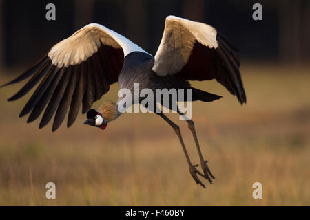 Grey crowned-crane (Balearica regulorum) landing.  Maasai Mara National Reserve, Kenya. Jan 2012. - Stock Photo