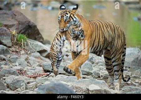 Bengal Tiger (Panthera tigris tigris) female 'Noor T39' carrying cub. Ranthambore National Park, India. - Stock Photo