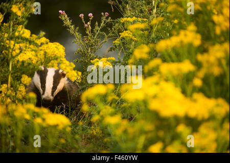 Badger (Meles meles) sub-adult badger among some ragwort, Derbyshire, England, UK, July. Highly commended in the - Stock Photo