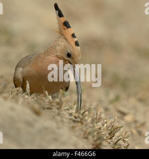 Common hoopoe (Upupa epops) feeding on ground, India. - Stock Photo