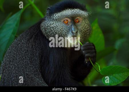 Stulmann's blue monkey (Cercopithecus mitis stuhlmanni) baby aged 9-12 months feeding on a vine. Kakamega Forest - Stock Photo
