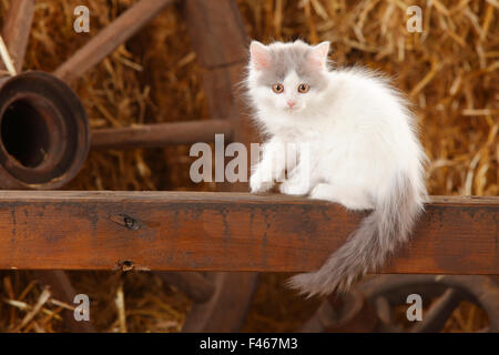 British Longhair, kitten with blue-van colouration age 10 weeks in barn with straw. - Stock Photo