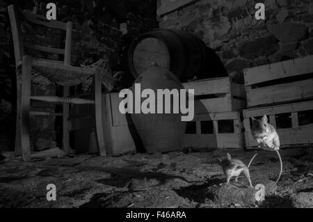 House mice (Mus musculus) fighting in a basement. Taken at night with infra-red remote camera trap, Mayenne, France, - Stock Photo