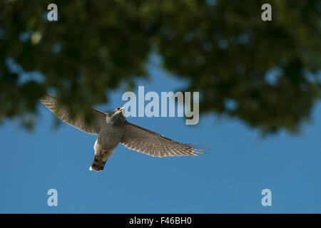 Northern goshawk (Accipiter gentilis) adult male in flight above tree canopy in urban cemetery, Berlin, Germany, - Stock Photo