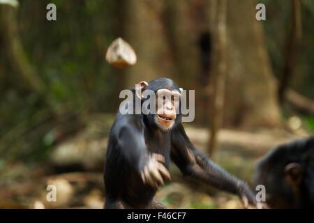 Western chimpanzee (Pan troglodytes verus)   juvenile female 'Joya' aged 6 years throwing rocks at other chimpanzees, - Stock Photo