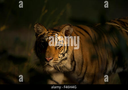 Bengal Tiger (Panthera tigris) sub-adult, approximately 17-19 months old, lit by morning light, stalking. Endangered. - Stock Photo