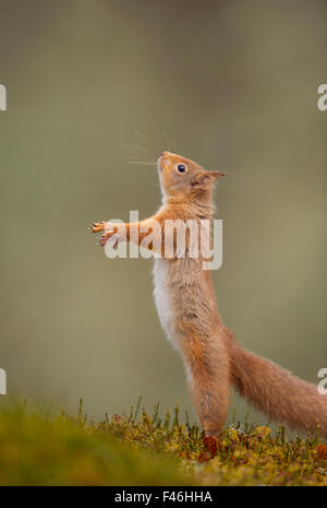 Red Squirrel (Sciurus vulgaris) adult standing on its hind legs. Cairngorms National Park, Scotland, UK, March. - Stock Photo
