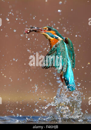 Kingfisher (Alcedo atthis) flying up from water with caught fish, Worcestershire, UK, March. - Stock Photo