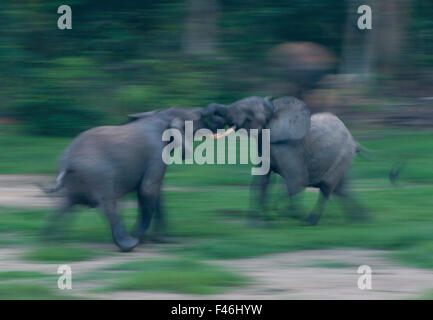 African Forest elephant (Loxodonta africana cyclotis) bulls sparing, blurred motion, Dzanga-Ndoki National Park, - Stock Photo