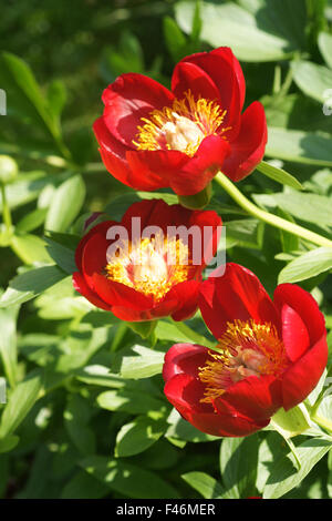 Scarlet red single peony