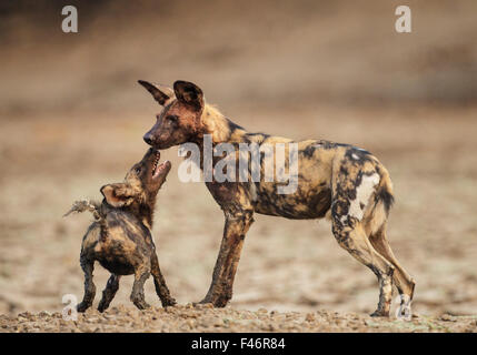 African Wild Dog (Lycaon pictus) submissive begging by a pup, Mana Pools National Park, Zimbabwe, October 2012 - Stock Photo