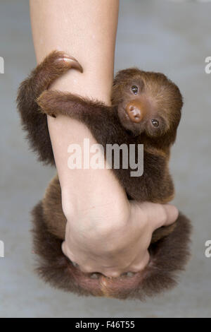 Hoffmann's Two-toed Sloth (Choloepus hoffmanni) orphan baby clinging to person's arms, Aviarios Sloth Sanctuary, - Stock Photo