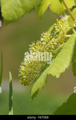 Fox grape - Stock Photo