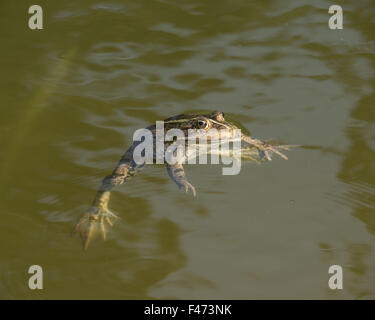 Edible frog, also common water frog or green frog (Rana esculenta) swimming, North Rhine-Westphalia, Germany - Stock Photo