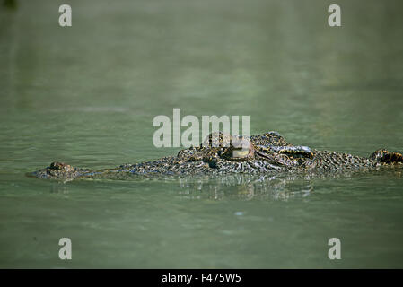 saltwater crocodile, estuarine crocodile or indo-pacific crocodile, Crocodylus porosus.  Hunter River, Kimberley, - Stock Photo