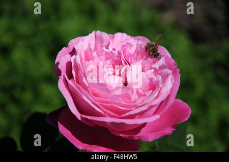 Shrub rose - Stock Photo
