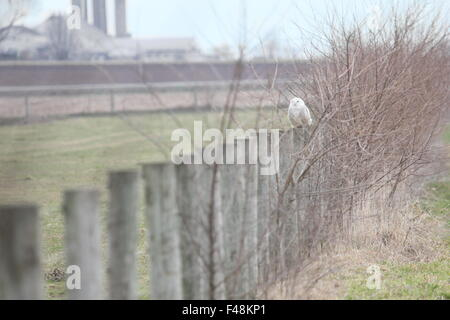 Snowy owl perched on a farm fence. - Stock Photo