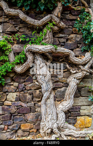 Age, gnarled tree trunk, grows along a stone wall, vineyard near Bacharach, Rheingau, Upper Middle Rhine Valley - Stock Photo