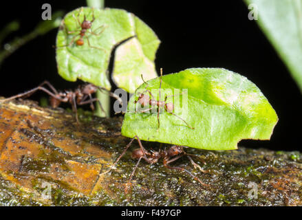 Leaf Cutter Ants (Atta sp.) Minims (small workers)  riding on the leaves, help to protect from nest parasites. - Stock Photo